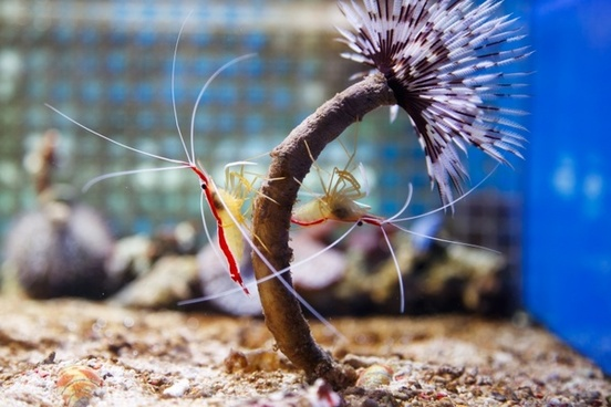 northern cleaner shrimp