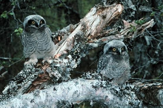 northern hawk owl owls bird