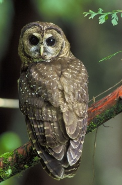 northern spotted owl bird tree