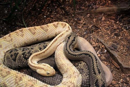 northwestern neotropical rattlesnake
