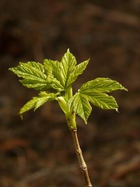 norway maple acer platanoides aceraceae