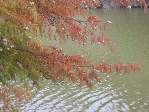 nut tree over the river