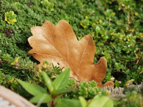 oak leaf moss nature
