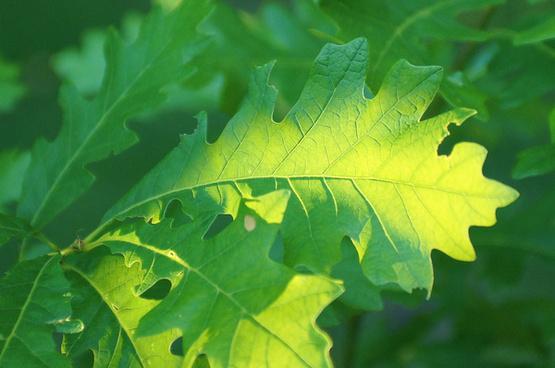oak leaves lit by morning sun