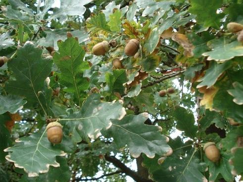 oak oak leaves acorns