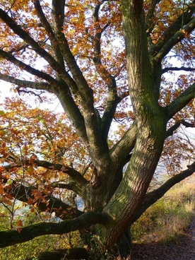 oak tree autumn