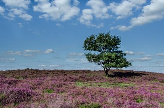 oak tree in purple moorland