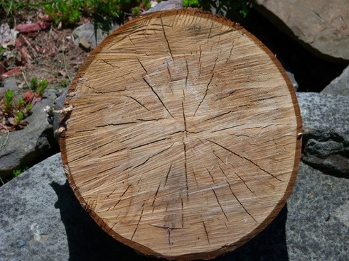 oak tree slice