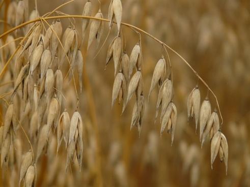 oats flag oat cereals