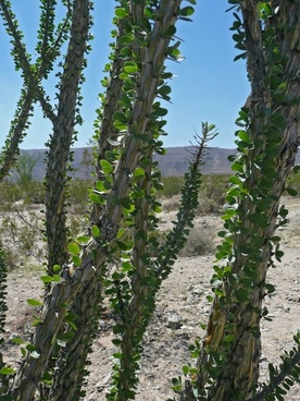 ocotillo plant joshua tree national park