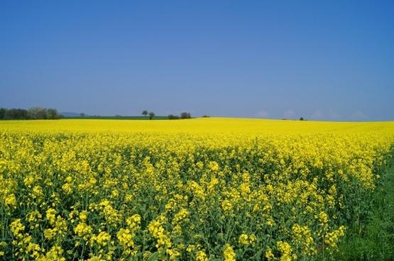 oilseed rape rapsfeld meadow