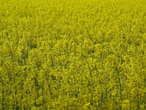 oilseed rape yellow fields