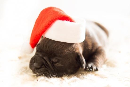 old english christmas bulldog