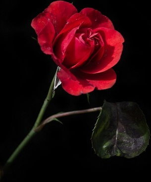 old red rose