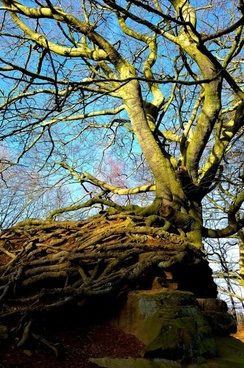 old tree and rock