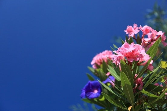 oleander background beautiful