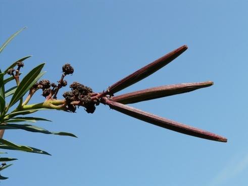 oleander faded fruit