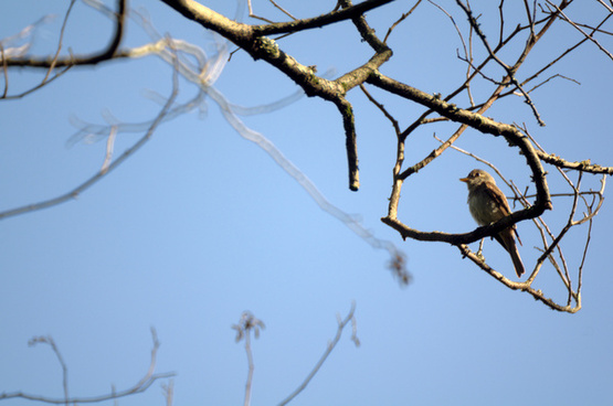 olive sided flycatcher ii