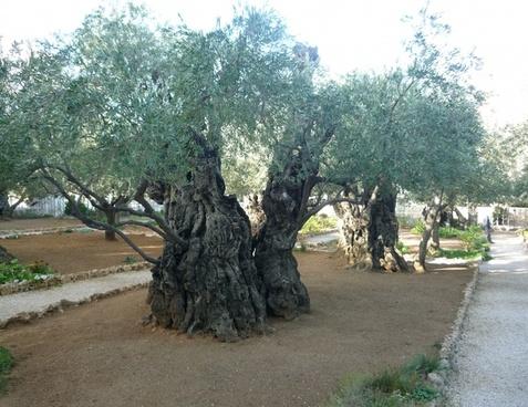 olive trees jerusalem israel