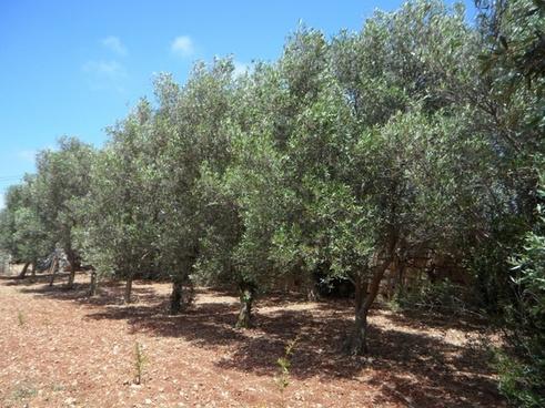 olive trees series olives