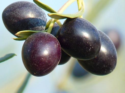 olives fruit olive tree