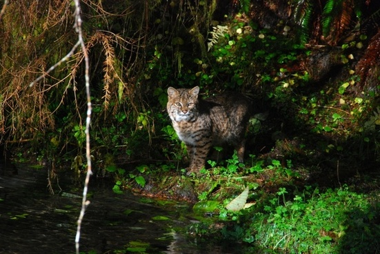 olympic national park washington bobcat