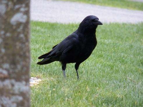 one black crow