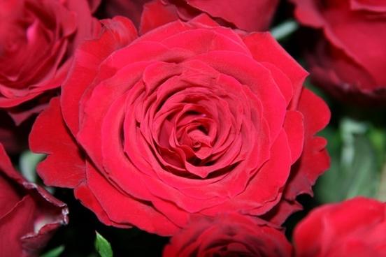 open rose red birthday