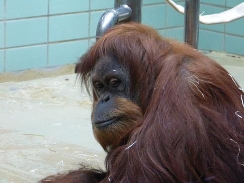 orang utan monkey animal