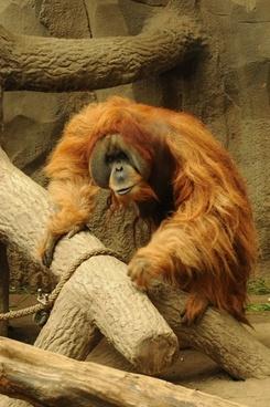 orang utan zoo animal