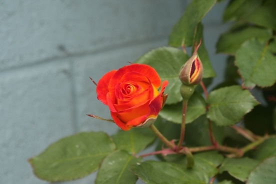 orange and yellow rosebud