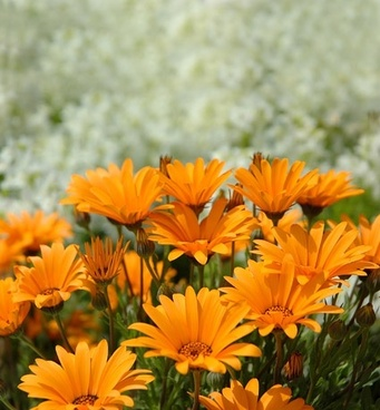 orange daisy picture