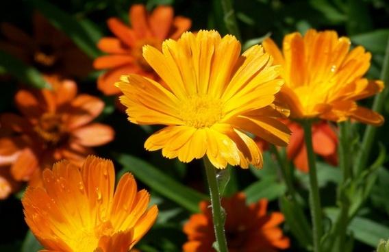 orange flowers summer