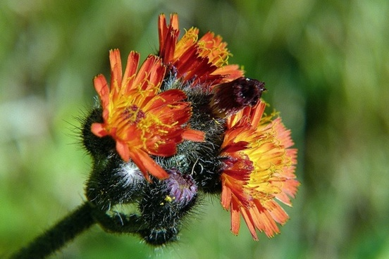 orange hawkweed orange red king devil wild flower