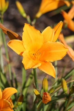 orange lily bloom