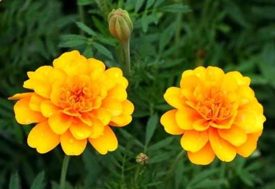 orange marigolds flowers blossom