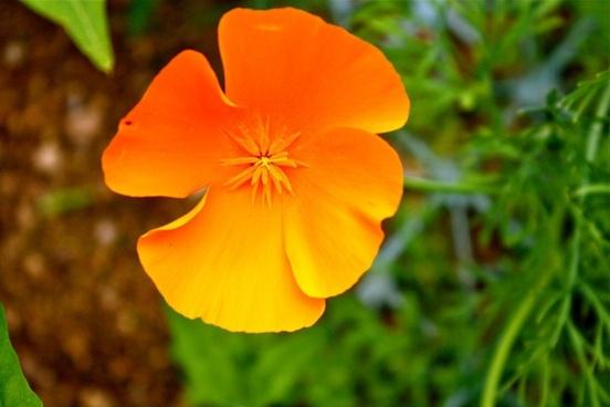 orange poppy icelandic poppy flower