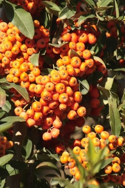 orange pyracantha berry clusters