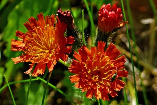 orange red king devil orange hawkweed wildflower