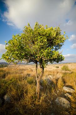 orange tree israel