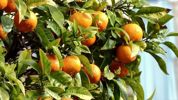 oranges fruit tree