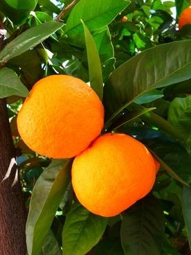 oranges tree leaves