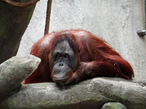 orangutan zoo illinois