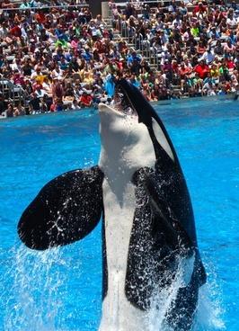 orca killer whale orcinus orca