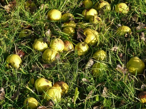 orchard harvest fruit