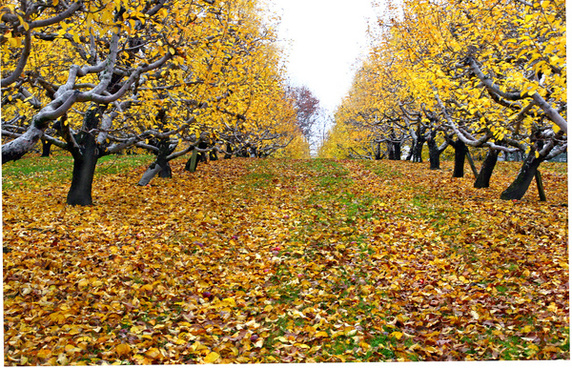 orchard in autumn