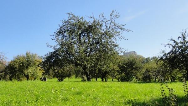 orchard tree fruit tree