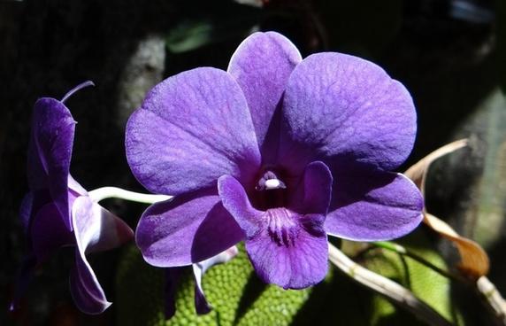 orchid dendrobium purple