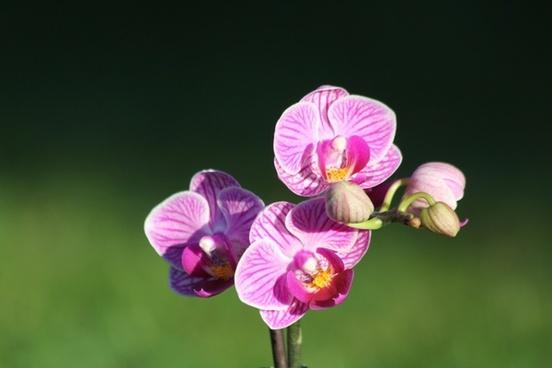 orchid flower purple