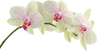 orchid white picture 4
